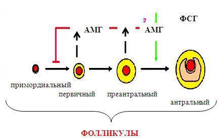 Действия антимюллерова гормона в яичнике